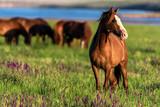 Dzikie konie pasą się w nasłonecznionej łące