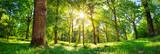 stare drzewo dębowe liści w świetle poranka z promieni słonecznych