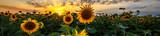 Krajobraz lato: piękno zachód słońca nad pole słoneczników. Widoki panoramiczne