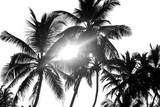 Drzewka palmowe czarny i biały odizolowywają