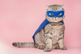 superbohater, szkocka whisky z niebieskim płaszczem i maską. Koncepcja superbohatera, super kota, lidera. Na różowym tle. Macho i słodki kot