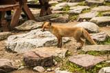 young fox. wild animal photo
