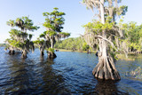 Cypress trees at Blue Cypress Lake in western Indian River County, Florida.