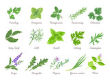 Set of herbs isolated. Green leaves of Parsley, Oregano, Marjoram, Cilantro, Celery, Bay leaf, Dill, Basil, Rosemary, Tarragon, Sage, Arugula, Green onion, Mint, Thyme. Vector cartoon illustration.