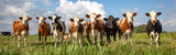 Group of cows stand upright on the edge of a meadow in a pasture, a panoramic wide view
