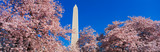 This is the Washington Monument set at the center amongst the spring cherry blossoms.