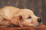 cute golden retriever puppy laying head down and looking to side