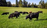 Black Angus Rinder Herde bei Morgen Fütterung im saftigen grünen Gras im Bayrischen Voralpenland