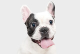 Celebrity portrait. French Bulldog young dog is posing. Cute playful white-black doggy or pet is playing and looking happy isolated on white background. Concept of motion, action, movement.