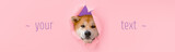 Cute Akita Inu dog visible through hole on color background with space for text