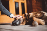 German Shepherd dog stroked by woman in front of house