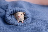 Cute little hamster in sleeve of blue knitted sweater, space for text