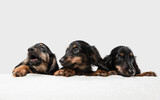 Cute puppies, dachshund dogs posing isolated over white background
