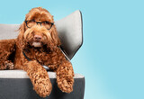 Labradoodle dog with glasses and stethoscope on sofa chair with blue color background. Cute fluffy dog with tilted head and listening expression. Pet health care and animal concept. Selective focus.