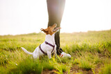 A small dog of the Jack Russell Terrier breed on a walk with its owners. Person with dog play together in the park.