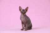 Adorable Sphynx kitten on pink background. Baby animal
