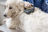 Veterinarian checking microchip implant under sheepdog dog skin in vet clinic with scanner device. Registration and indentification of pets. Animal id passport.