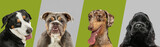 Art collage made of funny dogs different breeds on multicolored studio background.