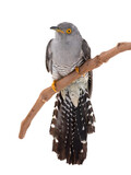 cuckoo isolated on white background