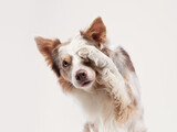 the dog waving paw. Happy Border Collie on a beige background in studio