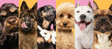 Collage made of close-up cropped portrait of funny dogs different breeds on multicolored studio background in neon light.