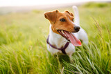 Happy active dog, jack russell playing in the park.  Domestic dog concept.