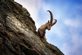 Ibex portrait. Switzerland wildlife. Ibex, Capra ibex, horned alpine animal, close-up detail portrait, animal in the stone nature habitat, Alps. Blue sky, wildlife nature.
