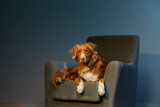 dog on a chair. Nova Scotia duck toller retriever in the studio. Pet indoors against a blue wall